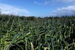 Lagerschaden Im Mais