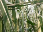 Durch Unwetter geschädigter Mais